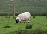 One of the many sheep grazing around the ruins, Shane gets very interested in the sheep/cattle varieties