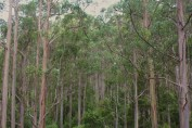 Hopefully these trees will reach their full potential and some will be 100metres high