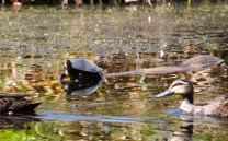 Loved this turtle, balanced precariously on a log while keeping a watchful eye on the ducks swimming by.