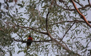 The last of the suns rays catch the top branches as the lorikeet settles down for the night