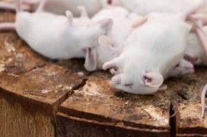 dead-mice