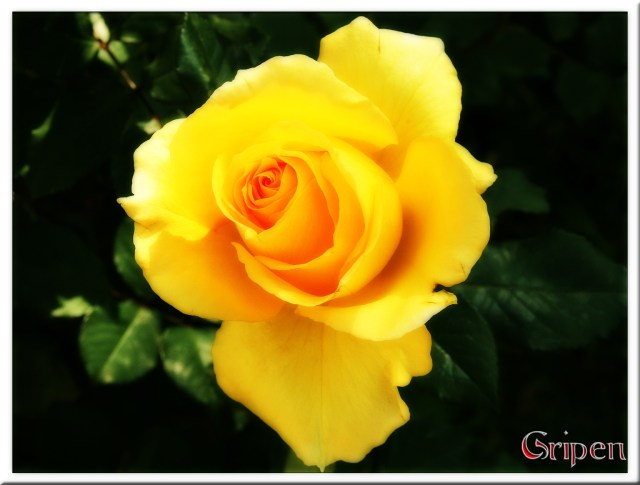 yellow rose - PeanutGallery247