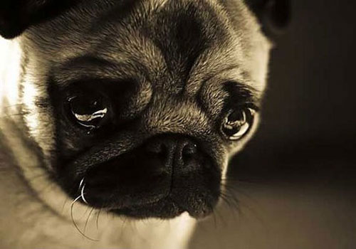 Can Dogs Cry, Just Like Us?