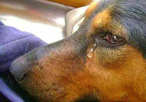 Why Do Dogs Cry Tears?