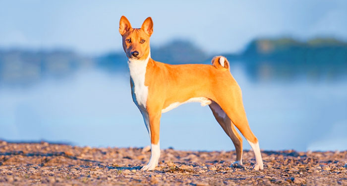 Best Dog Breeds for Apartments - Basenji