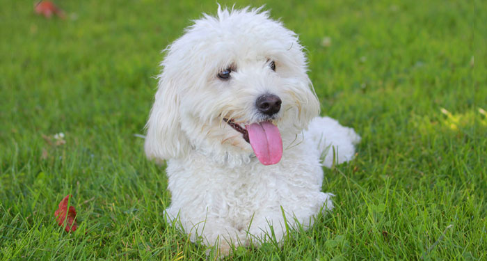 Best Dog Breeds for Apartments - Bichon Frise