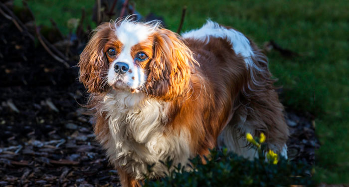 Best Dog Breeds for Small Apartments - Cavalier King Charles Spaniel