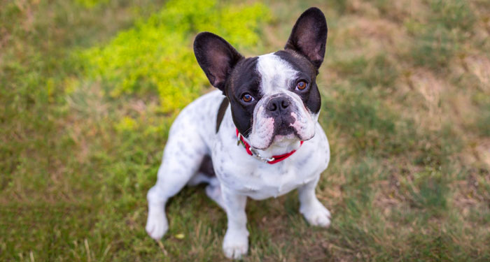 Best Dog Breeds for Small Apartments - French Bulldog