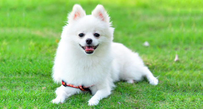 Best Dog Breeds for Apartments - Pomeranian