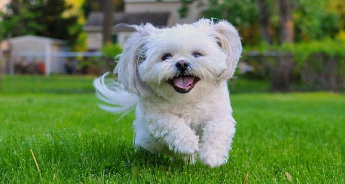 Best Dog Breeds for Small Apartments - Shih Tzu