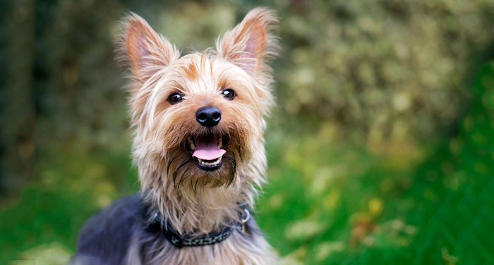 Best Dog for Apartments - Yorkshire Terrier