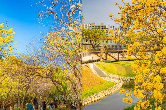 【台南景點】黃花風鈴木大綻放!在黃花風鈴木下散步,浪漫的金色台南景點:竹溪河畔&億載公園