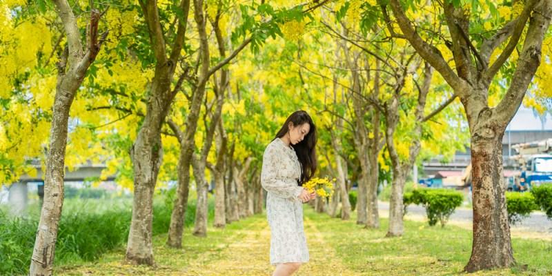 盛開了!黃金雨紛飛,台南阿勃勒賞花秘境,最浪漫的金色隧道,新化崙頂阿勃勒秘境