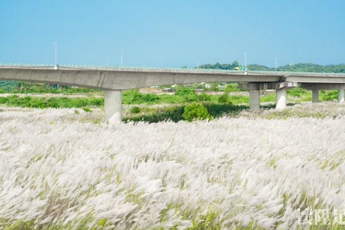 秋天來了!台南景點下起九月雪,橋下一片浪漫雪白大地 台南賞花趣 大內景點甜根子
