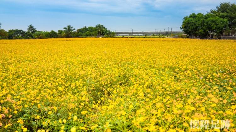 滿開了!台南小鎮私房花海,金色浪漫席捲而來|台南後壁花海