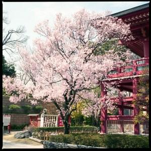 目黒不動尊の桜2016年