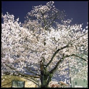桜の名所は近所にもある。旧中原街道の桜