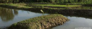 pearl of africa fish farming ponds |pearl of Africa farm