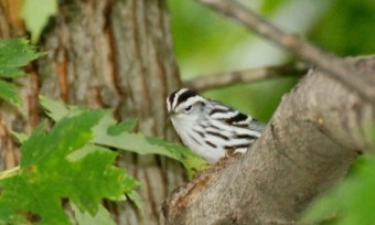 A Black and White Warbler. Hmm . . . wonder how it got its name? ;-)