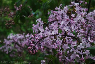 The lilac trees are beginning to bloom and the few hot days this week probably helped them bloom even further this week. I took this photo on Monday. The scent is intoxicating.