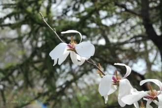magnolia triplet