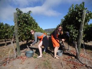 Dreams come true, we harvested cab sav grapes!