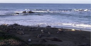 Listen to the bustle of California sea lions…