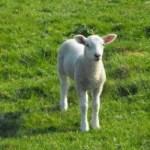 baby-lamb--baby_19-137929