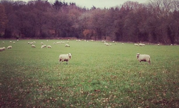 The Sheep are Watching