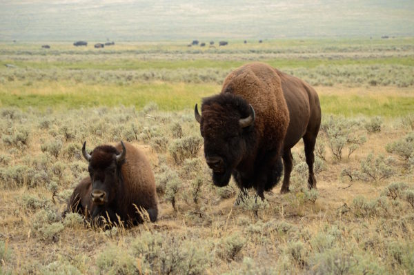 Yellowstone National Park Visitors Guide Bison