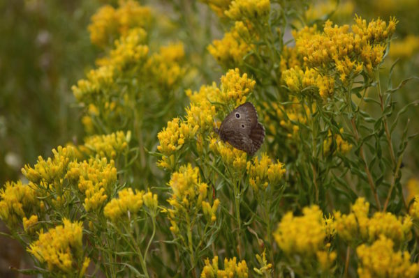 Yellowstone National Park Visitors Guide Butterfly
