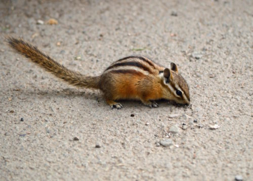 Yellowstone National Park Visitors Guide Chipmunk