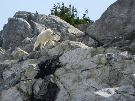 A curious Mountain Goat