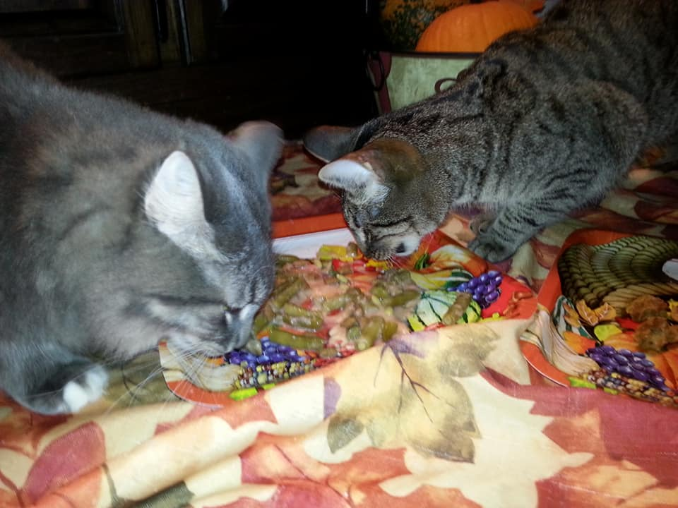 Pebbles the Blind Cat and Brother Gordon enjoy Holiday Food