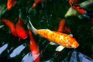 Koi Fancy carp
