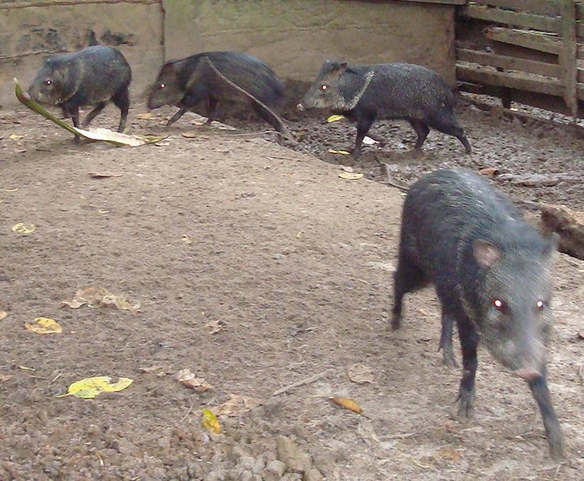 peccary animales salvajes en su habitat
