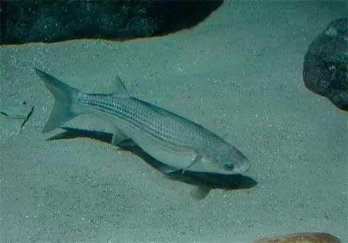 Chelon Labrosus