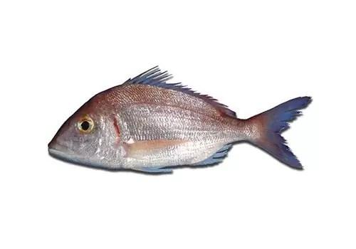 Pagellus Erythrinus