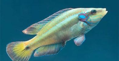 Symphodus Ocellatus