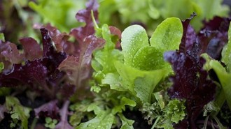 mj-618_348_how-to-grow-your-own-salad-greens