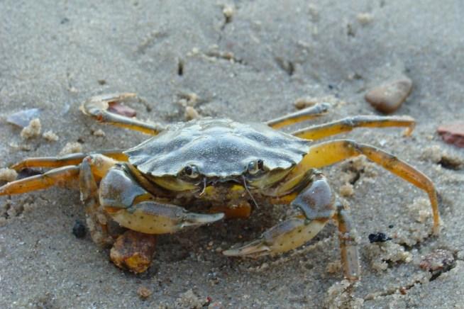 crabe appât peche au bar