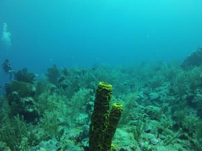 Barrel Coral