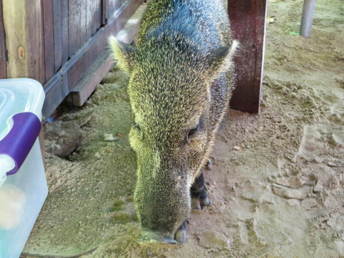 Philomenia, the Pot Bellied Pig truly thought she was a dog.