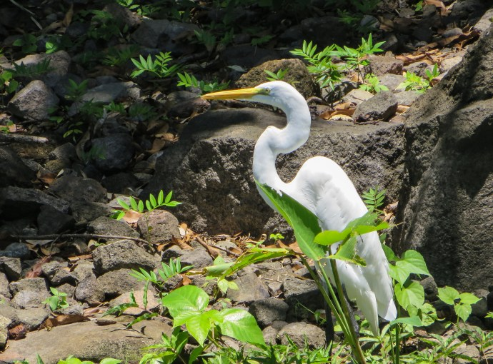 We saw several types of Herons, including this Great Egret.