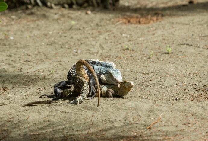 Iguana coitus.