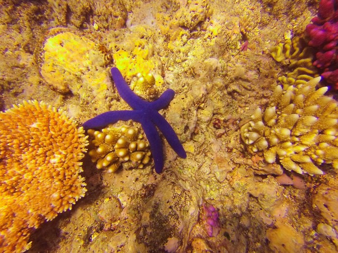 One of many blue starfish on the reef.