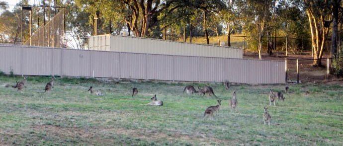 The local kangaroos coming down off the hill in the evening.