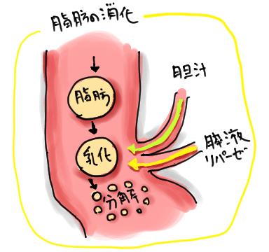 脂肪の消化吸収の仕組み | pecodrive