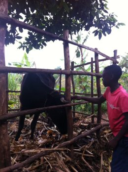 Rwanda encourages all families to get a cow