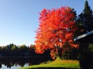 Maple at sunrise ...